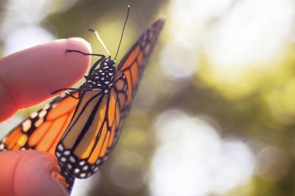 Photograph - Monarch On My Finger by Jeanette Fellows