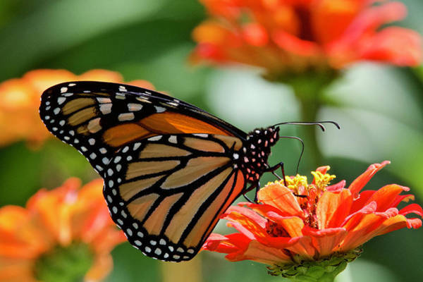 Wall Art - Photograph - Monarch On Orange Zinnia 7937 by Michael Peychich