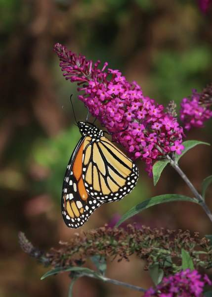 Wall Art - Photograph - Monarch On Pink Butterfly Bush by Marlin and Laura Hum