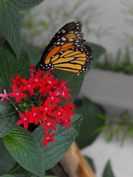 Botanical Photograph - Monarch On Red Flowers by Dominic Labbe