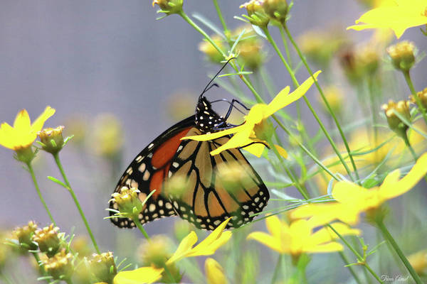 Photograph - Monarch On The Yellow Coreopsis by Trina Ansel