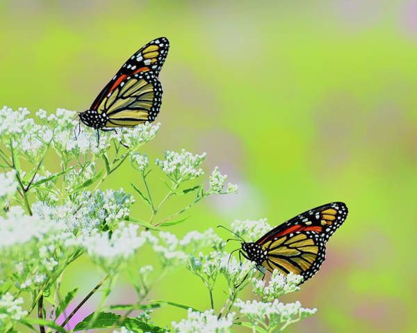 Photograph - Monarchs In A Meadow by Rodney Campbell