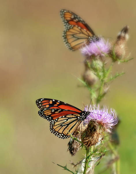 Photograph - Monarchs In The Meadow by Lara Ellis