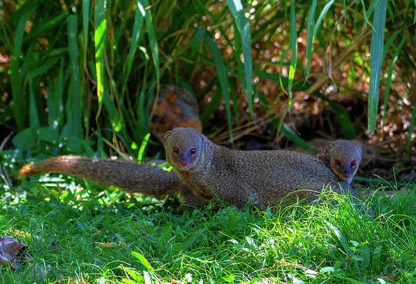 Photograph - Mongoose Pair by Anthony Jones