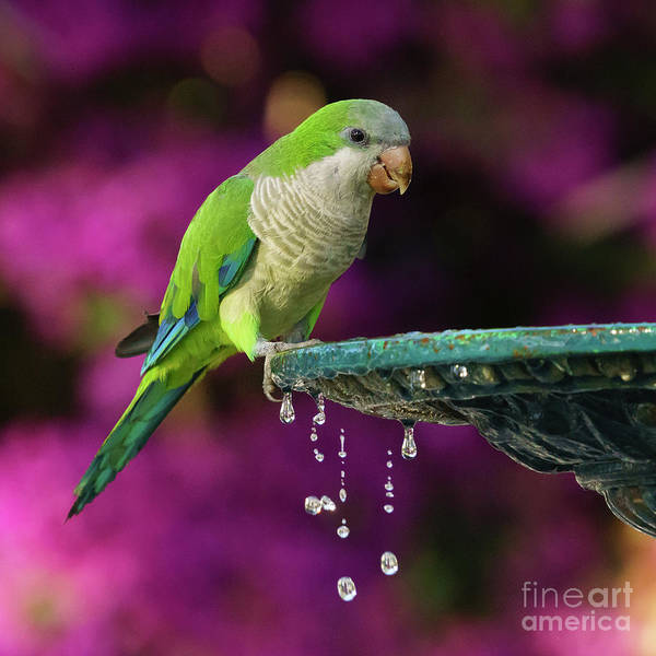 Photograph - Monk Parakeet And Iron Fountain by Pablo Avanzini