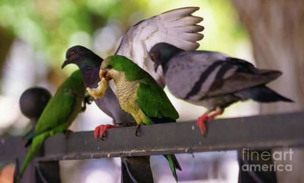 Photograph - Monk Parakeet And Rock Doves by Pablo Avanzini