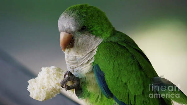Photograph - Monk Parakeet Eating A Loaf Of Bread by Pablo Avanzini
