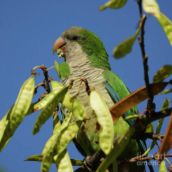 Photograph - Monk Parakeet Eating Perched On A Tree by Pablo Avanzini