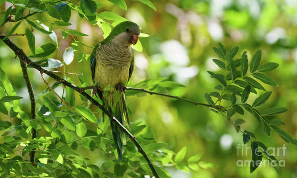 Photograph - Monk Parakeet Perched On A Tree Branch by Pablo Avanzini