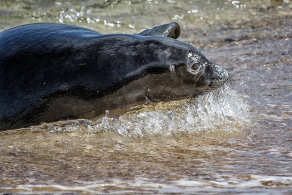 Wall Art - Photograph - Monk Seal Pup Going With The Flow - Pk1 by Belinda Greb
