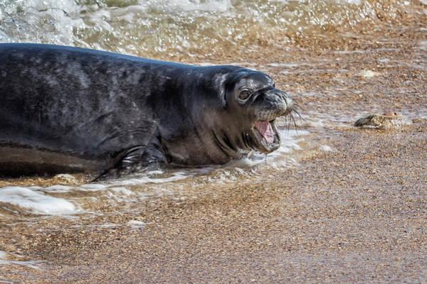 Photograph - Monk Seal Pup Having Fun, No. 1 - Pk1 by Belinda Greb