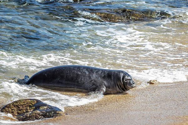 Photograph - Monk Seal Pup Having Fun, No. 2 - Pk1 by Belinda Greb