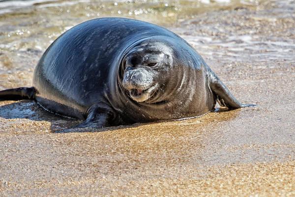 Photograph - Monk Seal Pup Having Fun, No. 3 - Pk1 by Belinda Greb