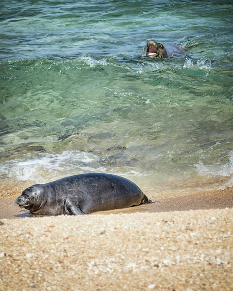 Photograph - Monk Seals Playing In The Waves - Rb00 And Pk1 by Belinda Greb