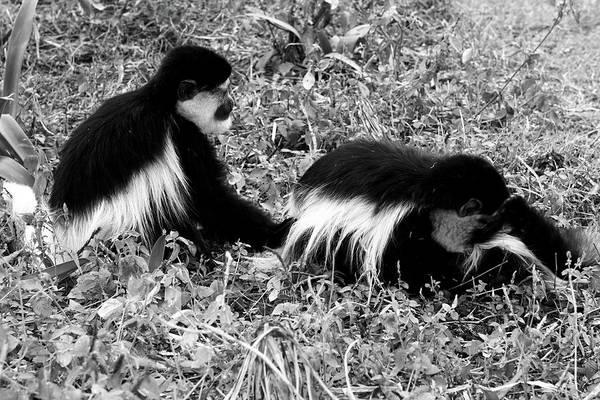 Photograph - Monkey Business  by Aidan Moran