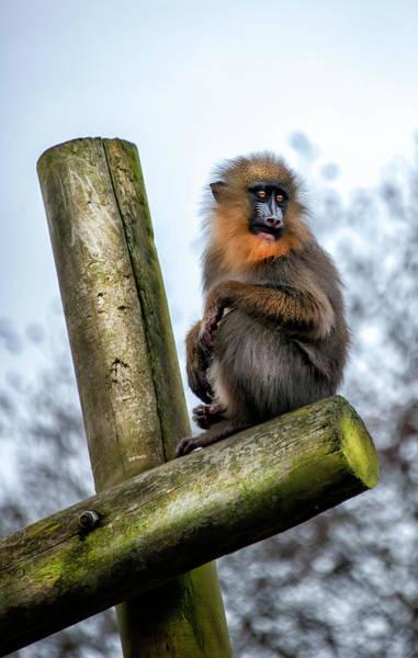 Pyrography - Monkey by Gouzel