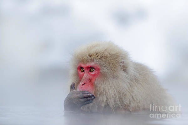 Hot Spring Wall Art - Photograph - Monkey Japanese Macaque, Macaca by Ondrej Prosicky