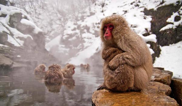 Snow Monkey Photograph - Monkey by Photographer Aron Pena