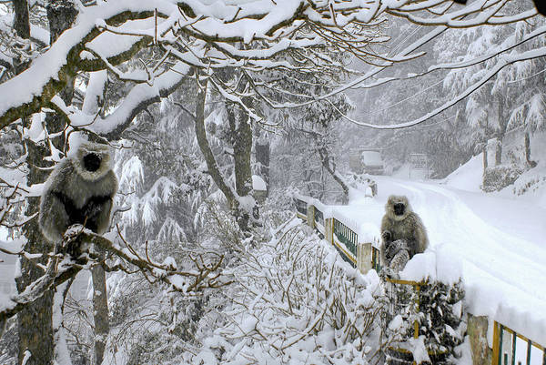 Snow Monkey Photograph - Monkeys In A Winter Snow Storm by Remote Asia Photo