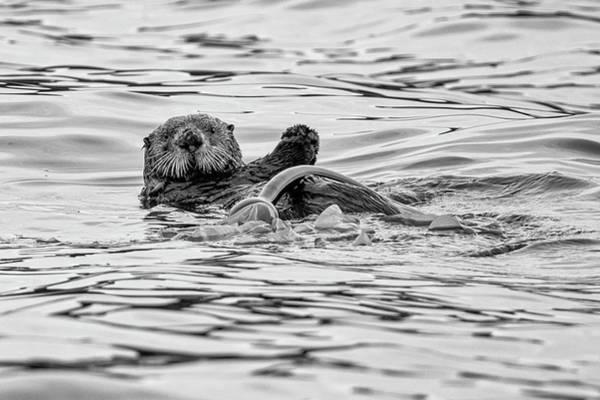 Photograph - Monochrome Sea Otter by Mark Hunter