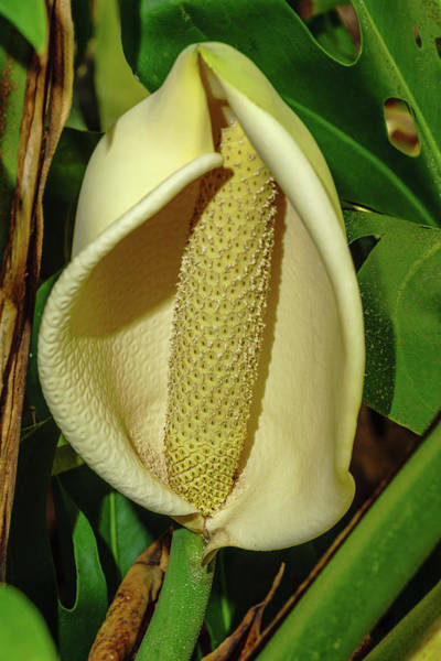 Photograph - Monstera Flower by John Bauer