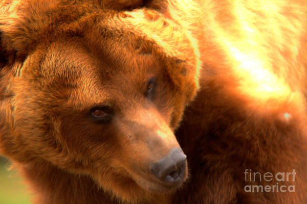 Photograph - Montana Grizzly Looking Back by Adam Jewell