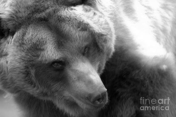 Photograph - Montana Grizzly Looking Back Black And White by Adam Jewell