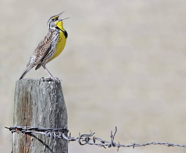 Wall Art - Photograph - Montana Meadowlark's Spring Song by Jennie Marie Schell
