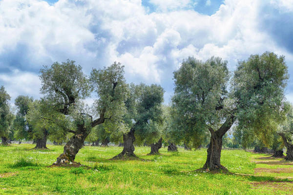 Photograph - Monumental Olive Trees, Some 2000 Years Old, by Steve Estvanik