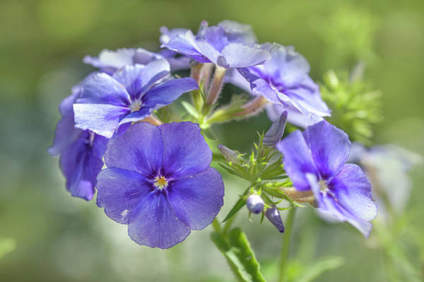 Photograph - Moody Blues Phlox 1 by Jenny Rainbow