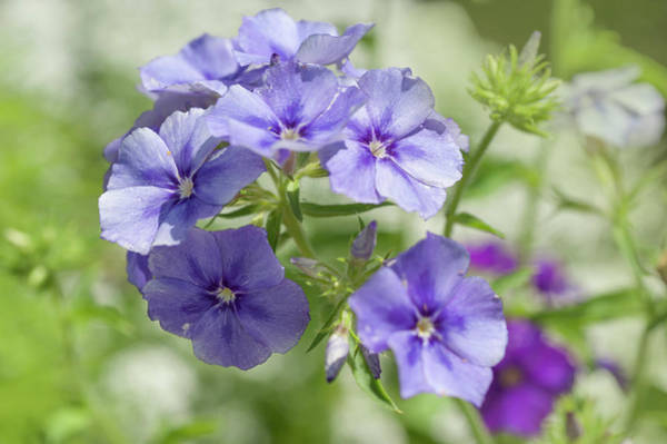 Photograph - Moody Blues Phlox by Jenny Rainbow
