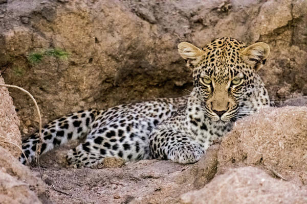 Photograph - Moody Leopard by Mark Hunter