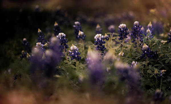 Photograph - Moody Texas Bluebonnets  by Andrea Anderegg