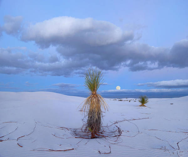 Photograph - Moon And Soaptree Yucca, White Sands by Tim Fitzharris