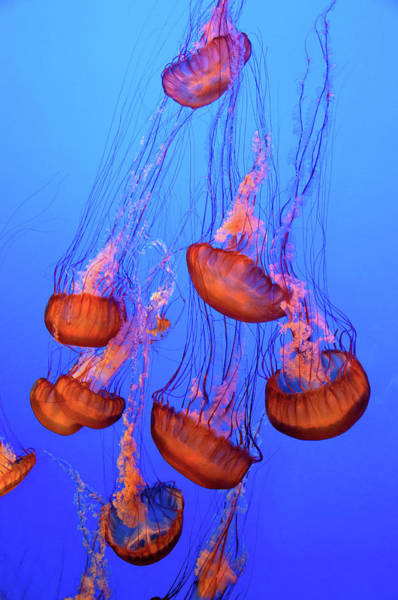 Monterey Bay Photograph - Moon Jellies Dance In The Water by Elfi Kluck