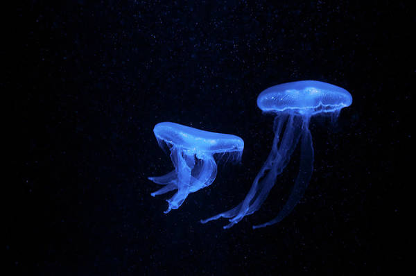 Moon Jellyfish Photograph - Moon Jellyfish by Alesveluscek