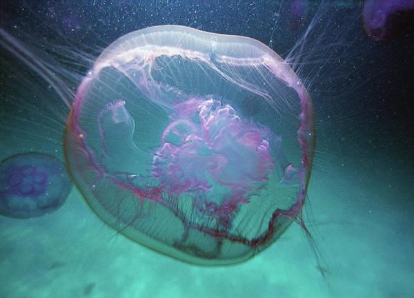 Moon Jellyfish Photograph - Moon Jellyfish Aurelia Aurita by Karan Kapoor