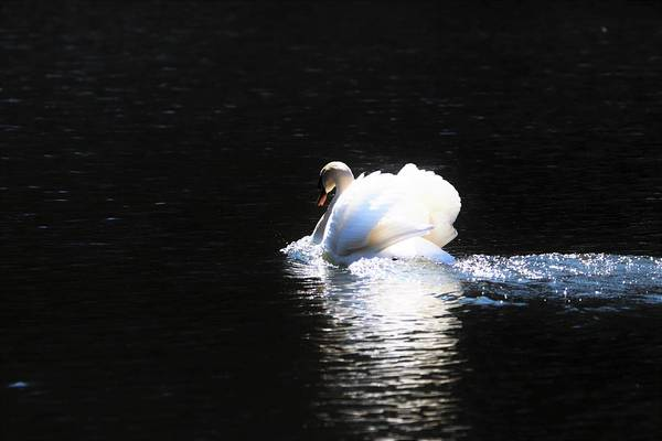 Photograph - Moonlit Swan by Karen Silvestri