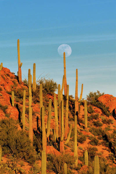 Photograph - Moonrise In The Saguaros by Chance Kafka