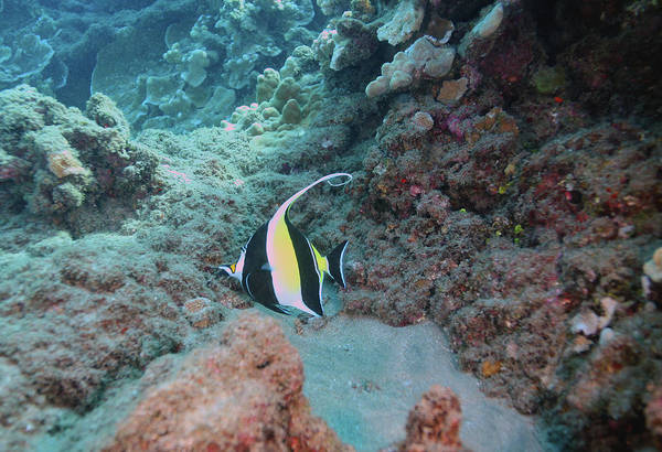 Photograph - Moorish Idol by Anthony Jones