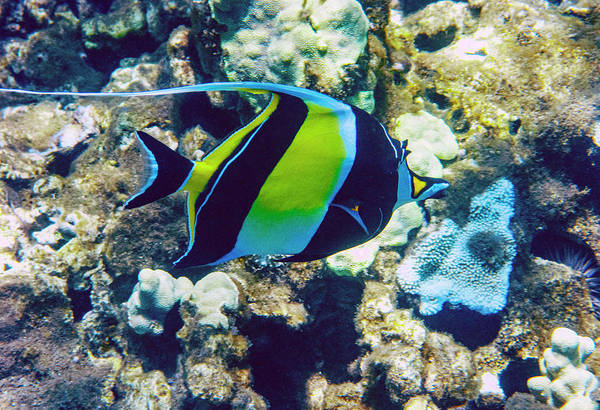 Photograph - Moorish Idol On Reef by Anthony Jones