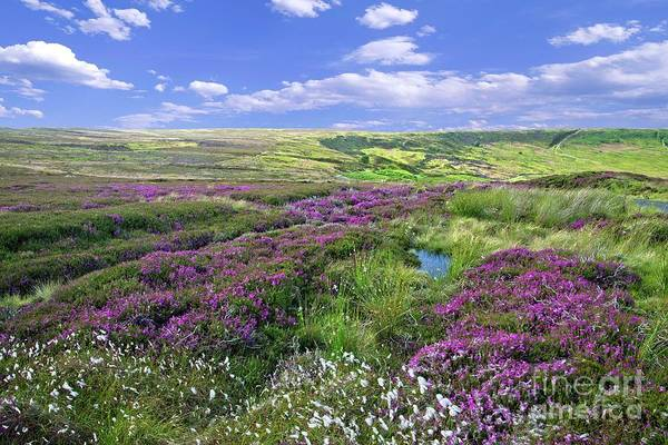 Photograph - Moorland Heather And Cottongrass by Martyn Arnold
