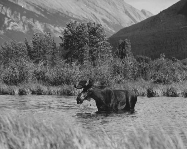 Mountain Lion Photograph - Moose Bathing by Three Lions