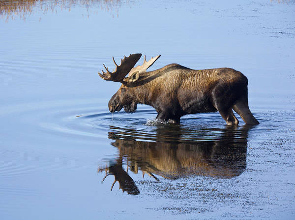 Wall Art - Photograph - Moose Bull, Glacial Pond Tundra, Denali by Eastcott Momatiuk