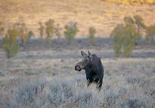 Photograph - Moose Cow In Gros Ventre by Jean Clark