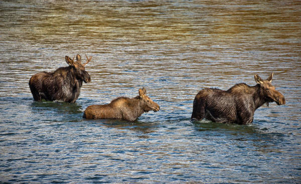 Photograph - Moose Family by Leland D Howard