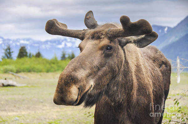 Reserve Wall Art - Photograph - Moose In Alaska Usa by Noradoa