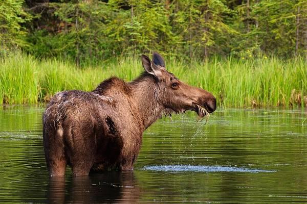 The Horseshoe Wall Art - Photograph - Moose In Denali by Noppawat Tom Charoensinphon