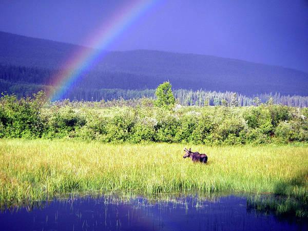Marsh Grass Photograph - Moose In Marsh by Christopher Kimmel
