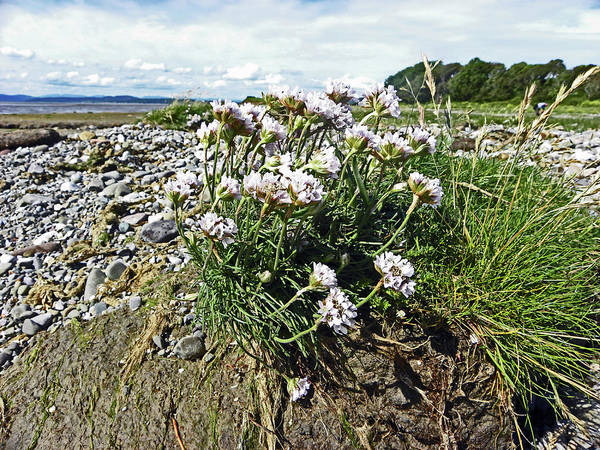 Photograph -  Morecambe. Hest Bank. Sea Thrift. by Lachlan Main
